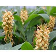 Bloemen Hedychium densiflorum Stephen - Gember