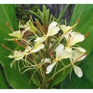 Bloemen Hedychium dixter - Gember