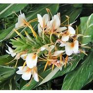 Bloemen-flowers Hedychium Dr. Moy - Gember