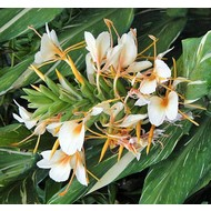Bloemen Hedychium Dr. Moy - Gember