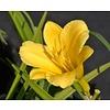 Bloemen-flowers Hemerocallis Stella d'Oro - Daglelie