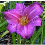Bloemen Hemerocallis Summer Wine - Daglelie