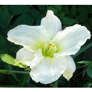 Bloemen Hemerocallis White Temptation - Daglelie