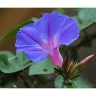 Bloemen Ipomoea learii - Blauwe sierwinde - Dagbloem