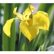 Bloemen Iris pseudacorus - Zwaardlelie - Lis