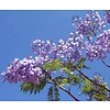 Bloemen Jacaranda mimosifolia