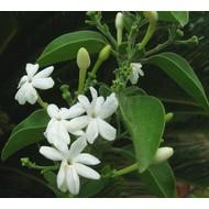 Bloemen Jasminum molle - Jasminum auriculatum - Indische jasmijn