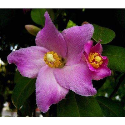 Bloemen-flowers Lagunaria patersonii