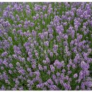 Bloemen Lavandula angustifolia Munstead - Lavendel