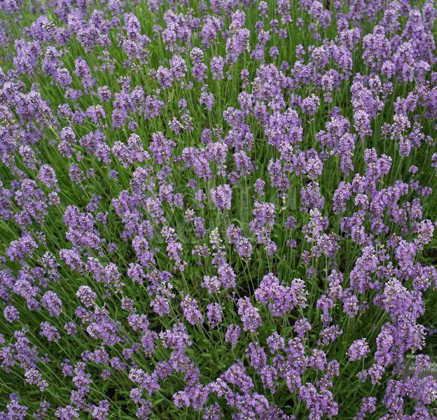 lavandula angustifolia munstead lavender palma verde. Black Bedroom Furniture Sets. Home Design Ideas