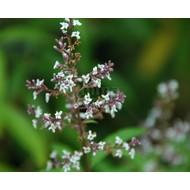 Bloemen Lippia citriodora - Citroenverbena - Citroenstruik