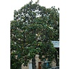 Bloemen-flowers Magnolia grandiflora Gallisoniensis