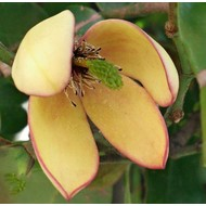 Bloemen / flowers Michelia figo - Bananenstruik