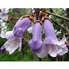 Bloemen Paulownia tomentosa - Keizersboom