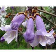 Bloemen / flowers Paulownia tomentosa - Keizersboom