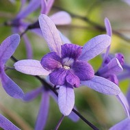 Bloemen Petrea volubilis - Bloem van God