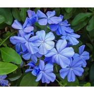 Bloemen Plumbago auriculata - Mannentrouw