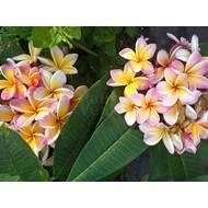 Bloemen Plumeria rubra California Sunset - Frangipani - Tempelboom