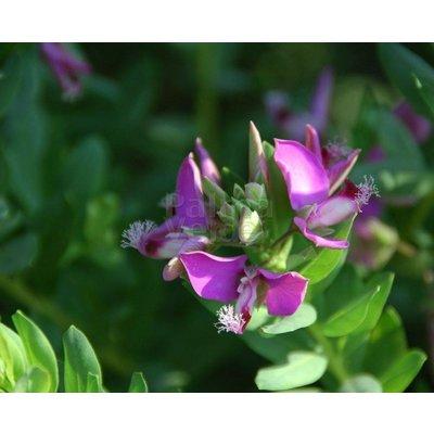 Bloemen Polygala myrtifolia - Vleugeltjesbloem