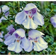 Bloemen Prostanthera cuneata - Muntstruik