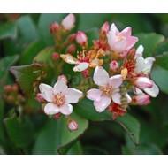 Bloemen Rhaphiolepis indica - Indische haagdoorn