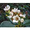 Bloemen / flowers Rhaphiolepis umbellata - Indische haagdoorn