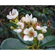 Bloemen Rhaphiolepis umbellata - Indische haagdoorn