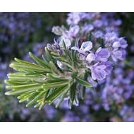 Bloemen-flowers Rosmarinus officinalis Prostratus - Rozemarijn