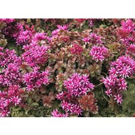 Bloemen-flowers Sedum spurium Fuldaglut