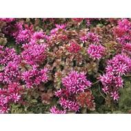 Bloemen Sedum spurium Fuldaglut - Roze vetkruid