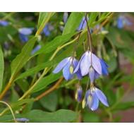 Bloemen Sollya heterophylla