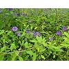 Bloemen Solanum rantonnetii - Blauwe aardappelstruik