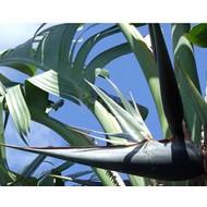Bloemen Strelitzia nicolai - Witte paradijsvogelbloem