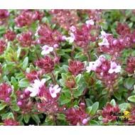 Bloemen-flowers Thymus praecox Coccineus