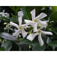 Bloemen Trachelospermum jasminoides - Sterjasmijn - Toscaanse jasmijn