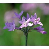 Bloemen Tulbaghia violacea - Wilde knoflook