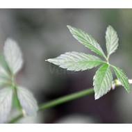 Eetbare tuin-edible garden Gynostemma pentaphyllum - Onsterfelijkheidskruid - Jiaogulan