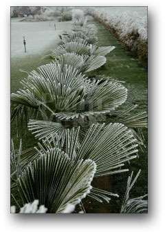 trachycarpus fortunei in de winter