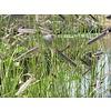 Siergrassen Bouteloua gracilis - Muskietengras