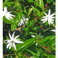 Bloemen Jasminum nitidum - Jasminum magnificum