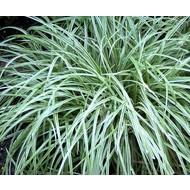 Siergrassen-ornamental grasses Dactylis glomerata Variegata - Kropaar