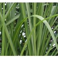 Siergrassen Miscanthus floridulus Jubilaris - Chinees reuzenriet