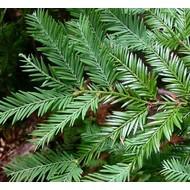 Bomen Sequoia sempervirens - Kustmammoetboom