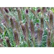 Siergrassen-ornamental grasses Pennisetum alopecuroides Pauls Giant