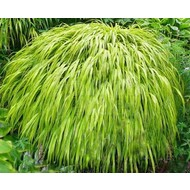 Siergrassen-ornamental grasses Hakonechloa macra Aureola