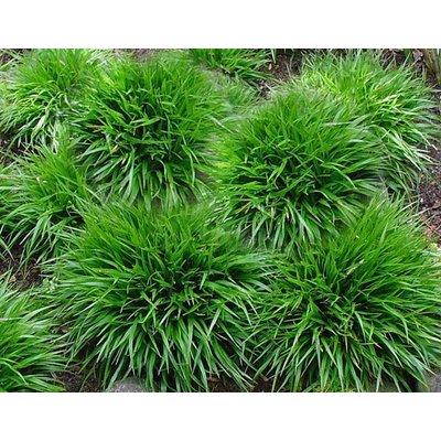 Siergrassen / ornamental grasses Luzula pilosa Igel - Veldbies