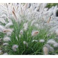 Siergrassen-ornamental grasses Pennisetum alopecuroides Hameln - Lampenpoetsergras