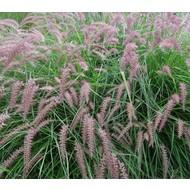 Siergrassen / ornamental grasses Pennisetum orientale - Fonteingras