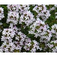 Bloemen / flowers Thymus vulgaris - Tijm