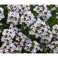 Bloemen Thymus vulgaris - Tijm